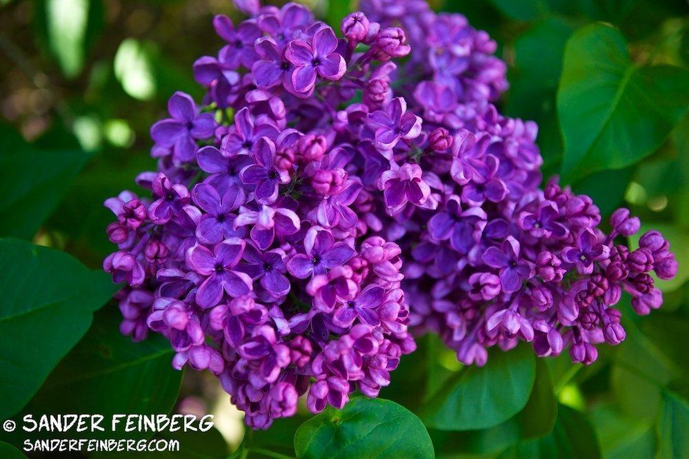 Hulda Klager Lilac Garden – 2012