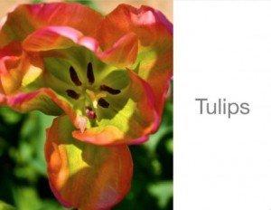 Tulip Mini-Book Sander Feinberg